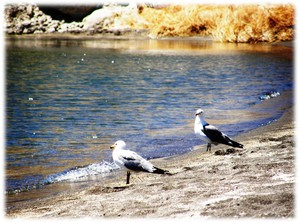 Two seagulls waiting by the beach on the Pyramid Lake Indian Reservation. Photo courtesy of Scott H. Carey. Submitted by Nathan Heller.
